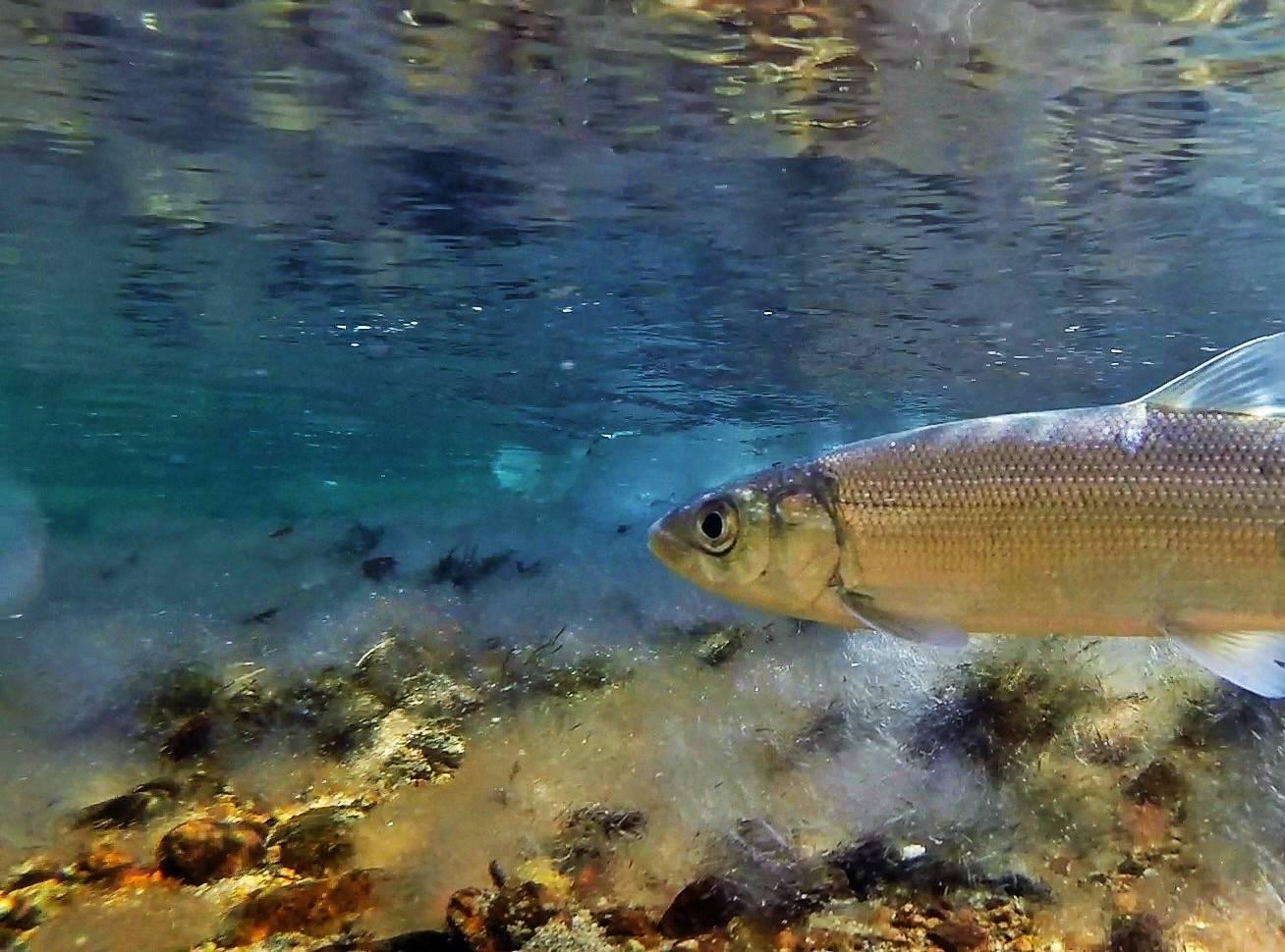 Рыба сиг: описание, распространение, полезные свойства и фото рыбы