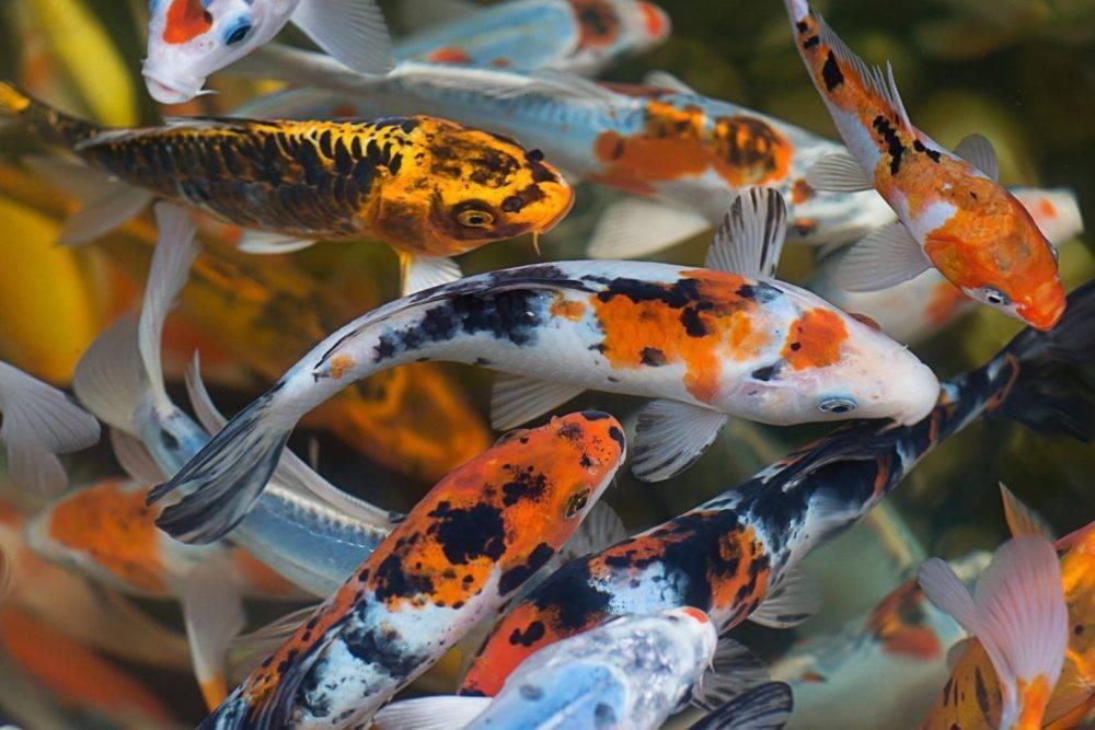 Карп кои: описание и содержание рыбки в домашних условиях