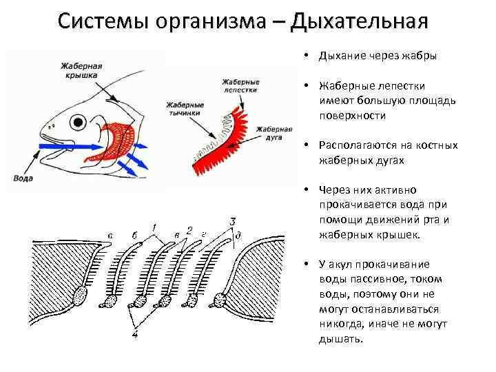Орган дыхания карася. дыхание рыб. как дышат рыбы