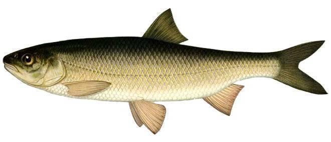 Ловля кутума: способы ловли и места обитания рыбы вырезуб