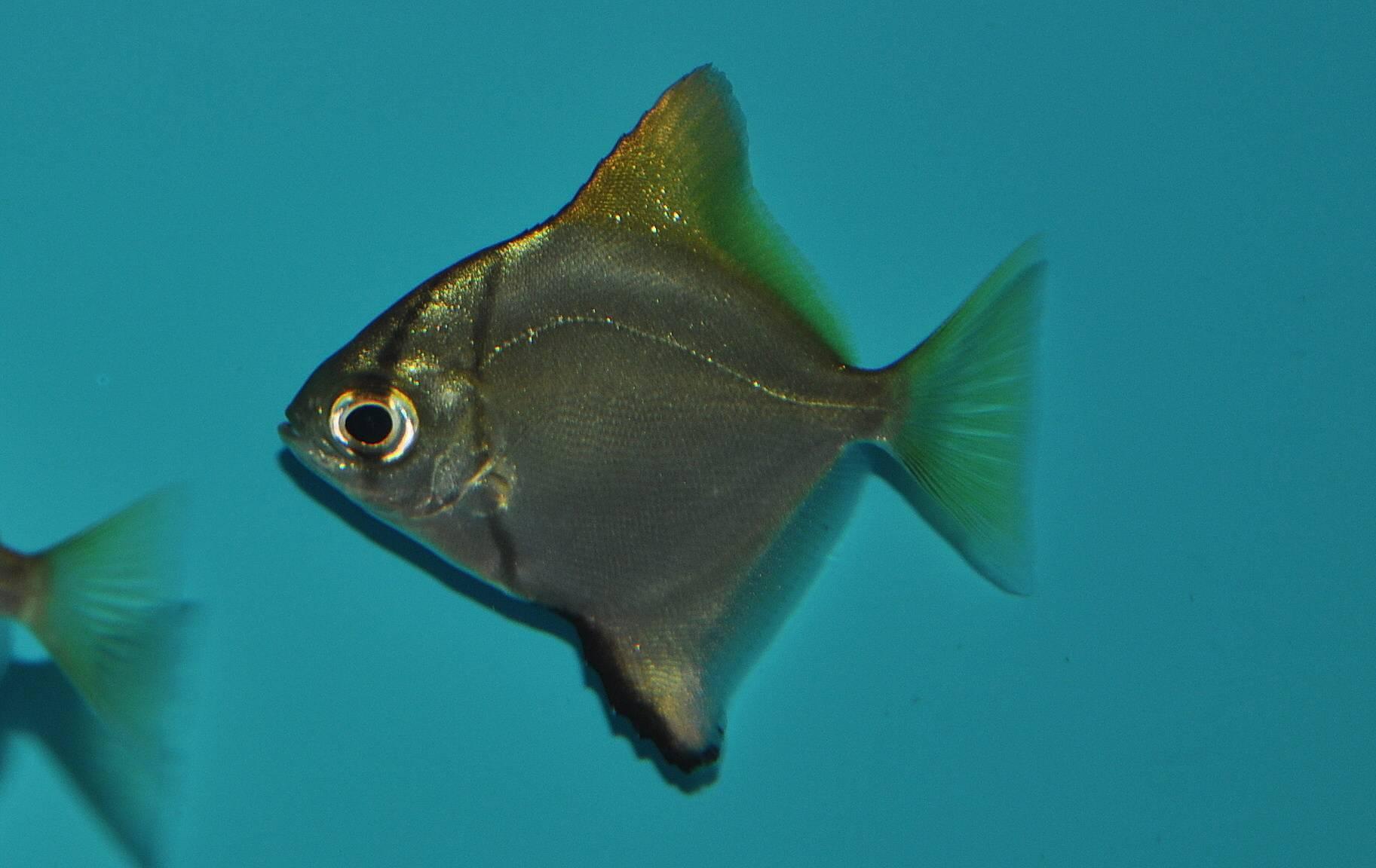Береговая ласточка, или береговушка