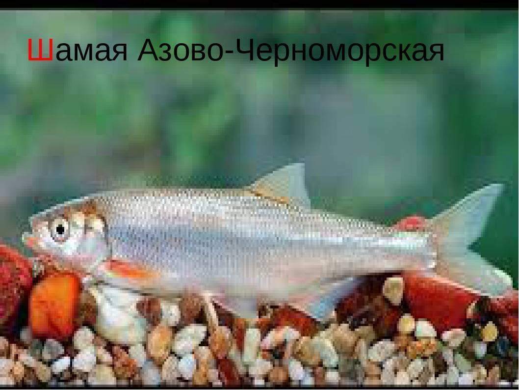 Шамая фото рыбы