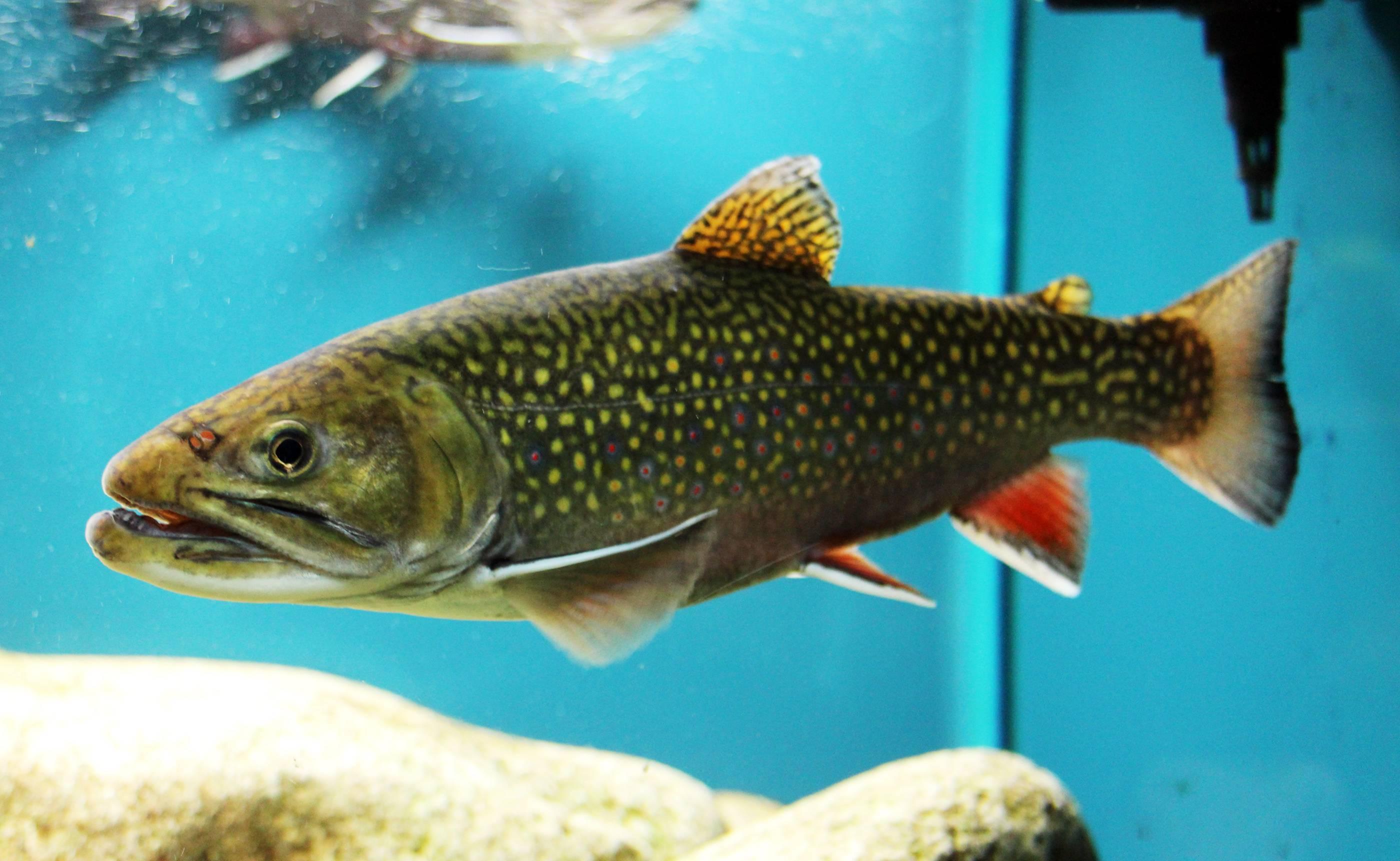 Что за рыба голец: описание, где водится, польза и вред, цена