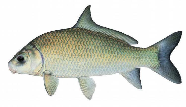 Рыба буффало: фото, описание жизненного цикла, места обитания, особенности ловли