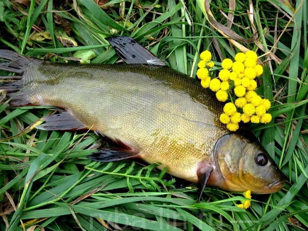Секреты линёвой рыбалки ~ рыболовные секреты
