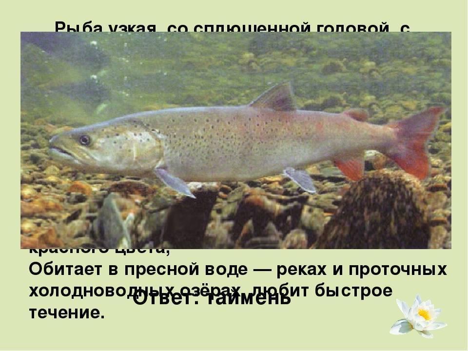 Шамая фото рыбы — ловись рыбка