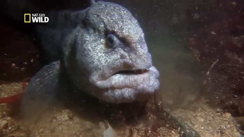 Какая зубатка лучше пестрая или синяя. рыба зубатка польза и вред как приготовить правильно