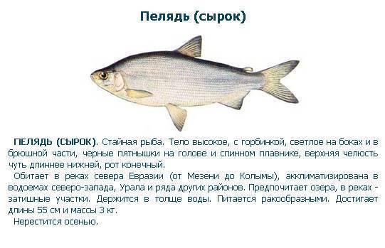 Пелядь: рыба описторхозная или нет - важная информация для любителей рыбы