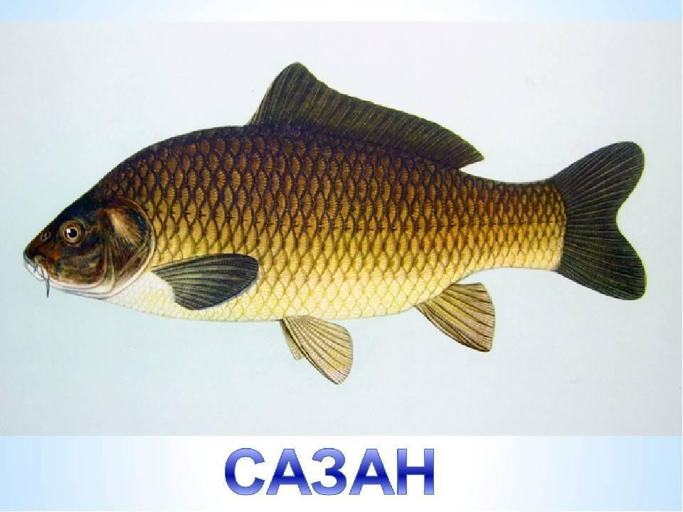 Чем отличается карп от сазана: 3 отличия и особенности рыб