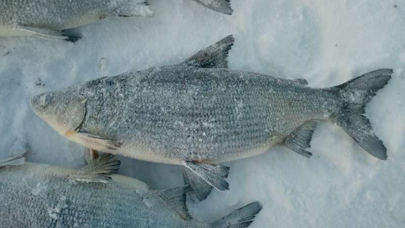 Рыба пелядь: как понять описторхозная она или нет
