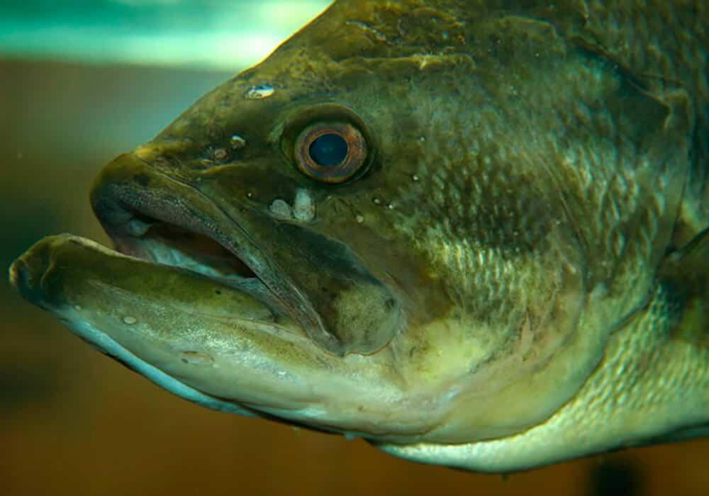 Рыба «Басс большеротый» фото и описание