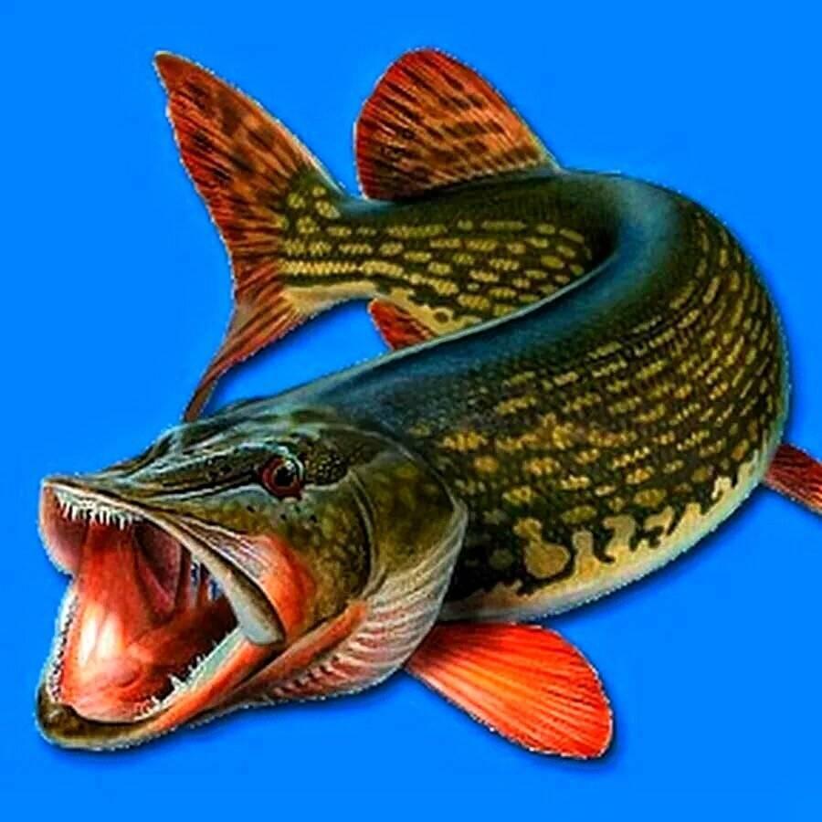 Щука: нерест, места обитания, образ жизни, рыбалка на щуку, приманки