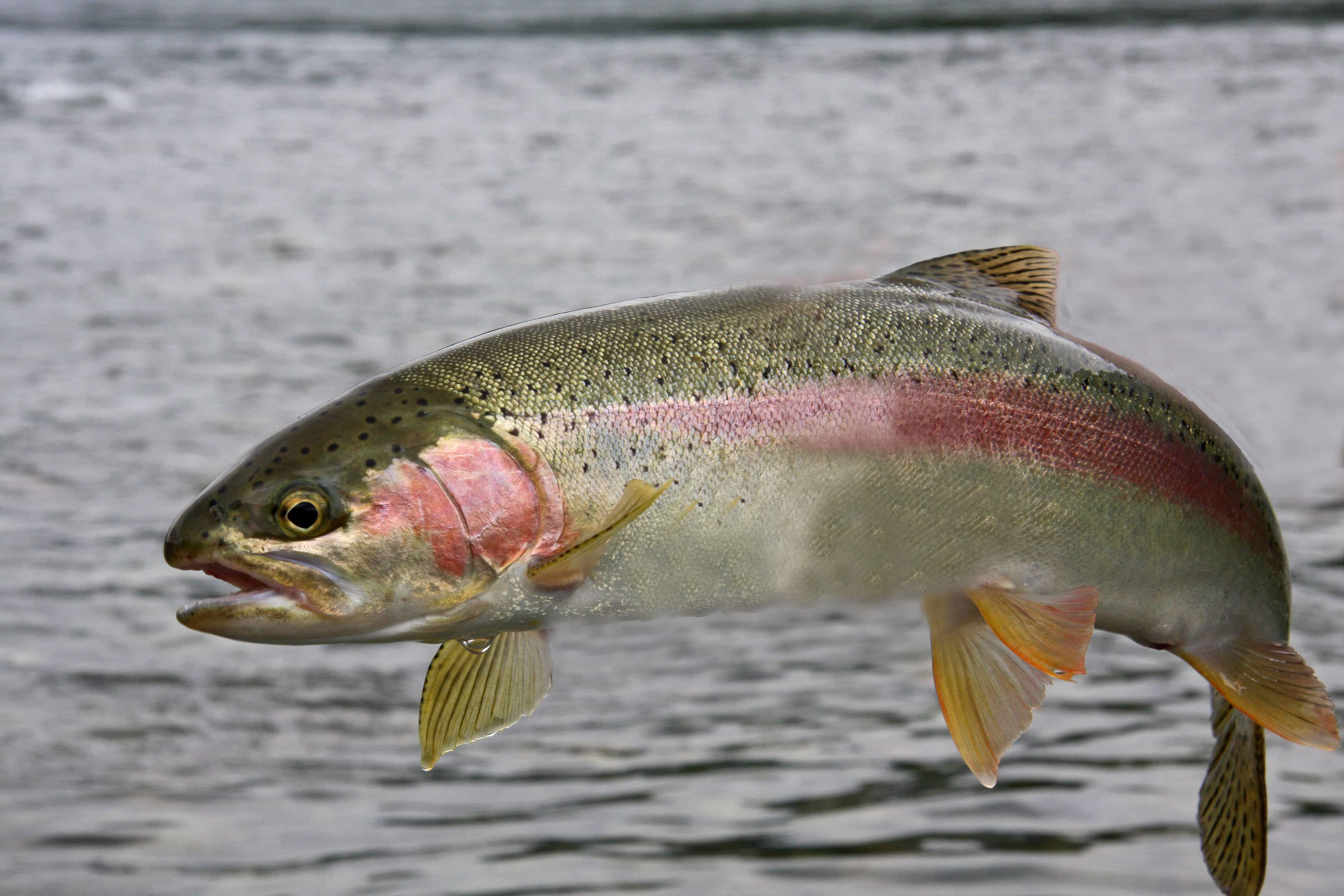 Форель белая или красная рыба