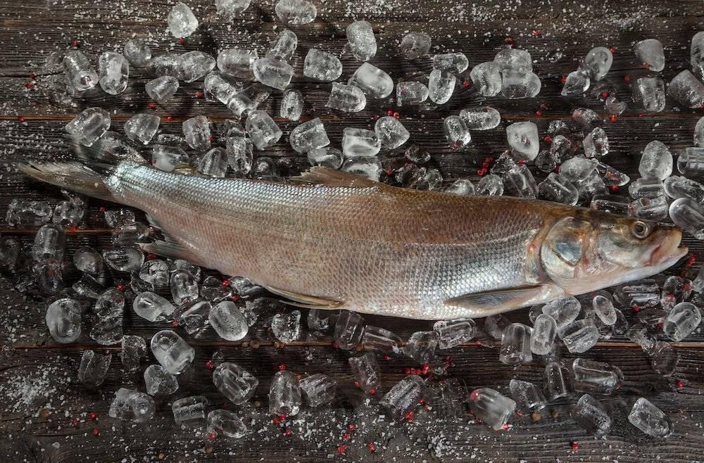 Что за рыба нельма: описание вида и рецепты с фото