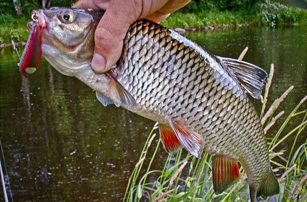Голавль, весна, спиннинг — сложная, но интересная рыбалка!