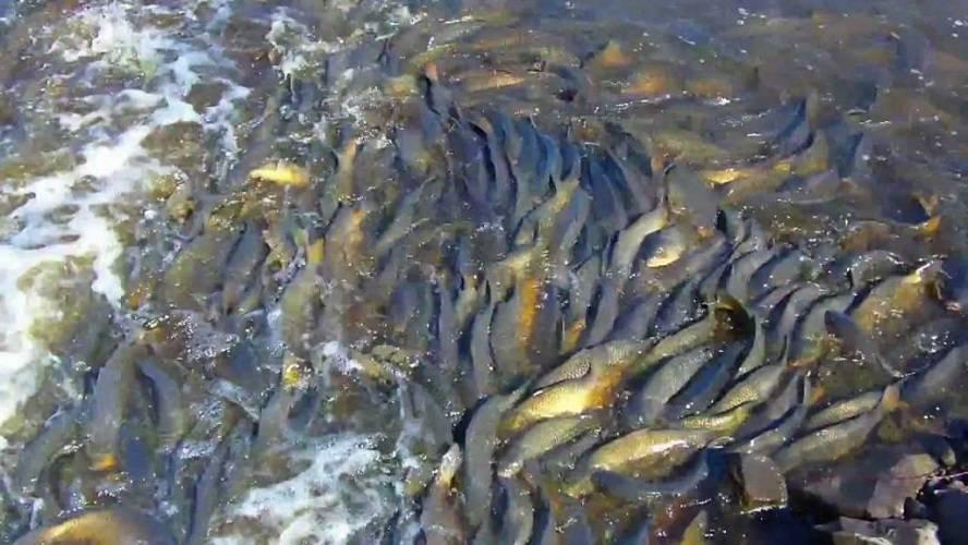 Нерест рыб в россии