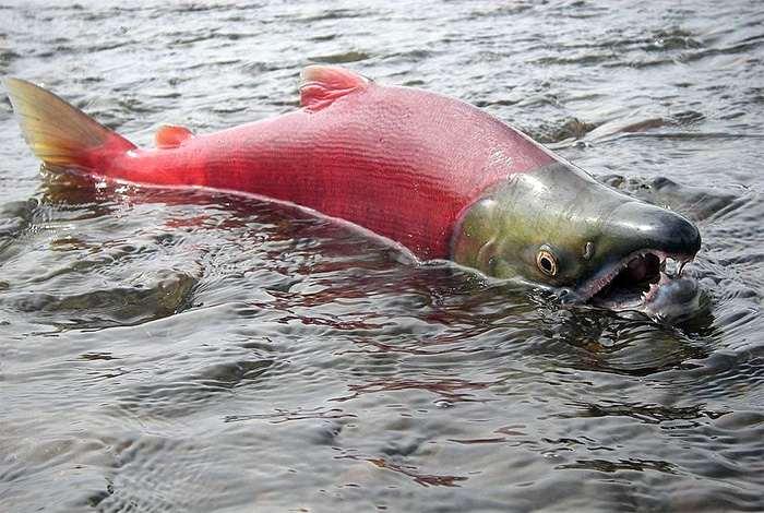 Необычные факты про рыбу нерка
