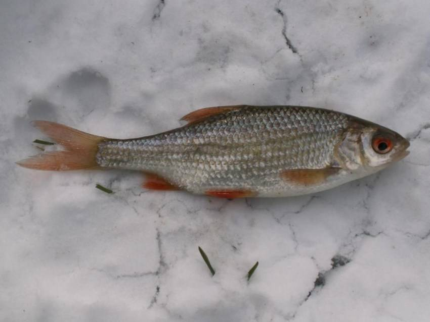 Любимое лакомство подуста - zaulov.by - ну, за рыбалку!