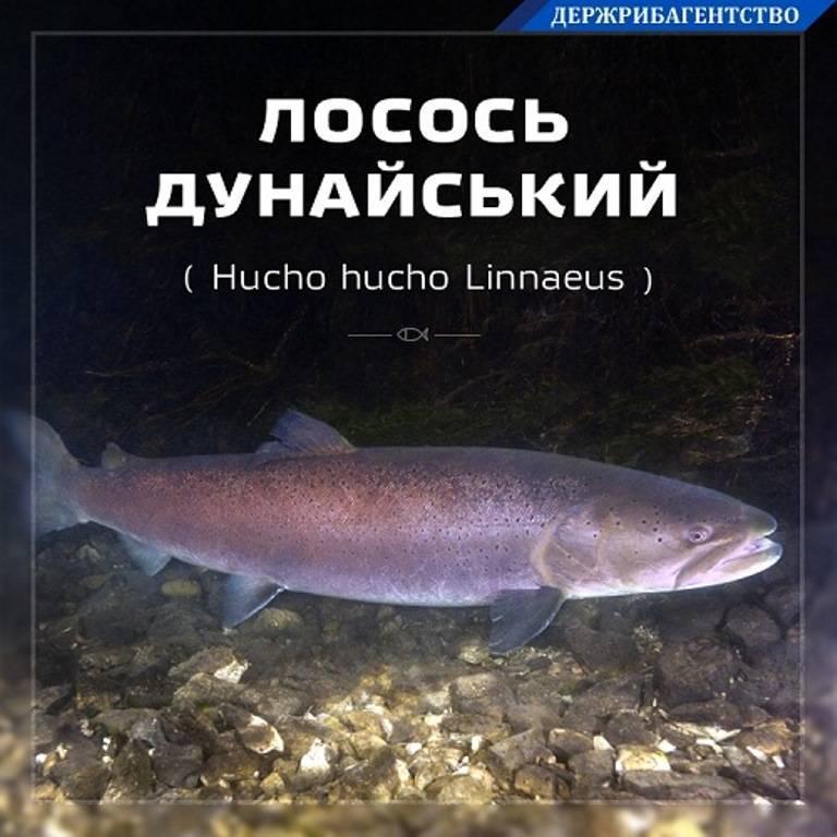 Семга — описание рыбы, места обитания, питание, нерест, полезные свойства + 91 фото