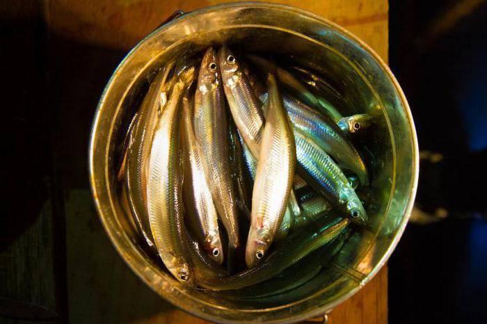 Корюшка: что общего у этой маленькой рыбки и огурца и чем она может быть опасна?