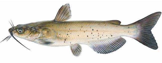 Рыба «Сомик канальный» фото и описание