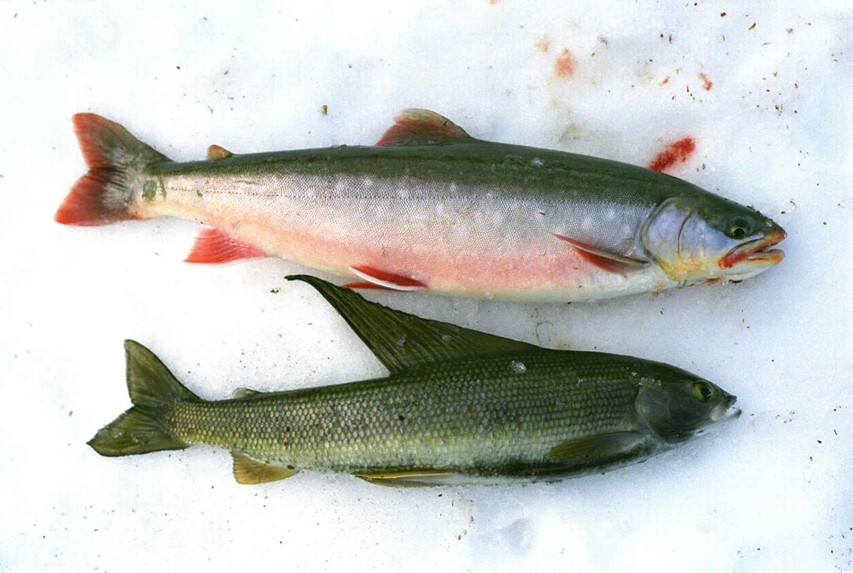 Голец: что за рыба, состав, калорийность, норма в день, польза