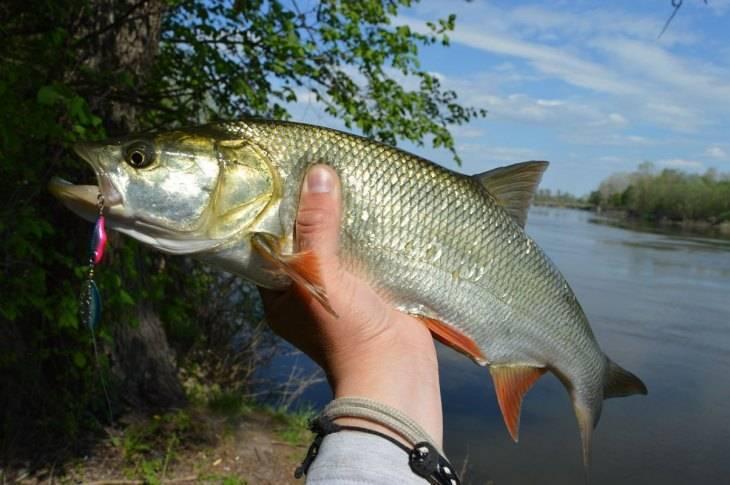 Жерех: костлявая рыба или нет, рецепты приготовления, вкусный балык из жереха