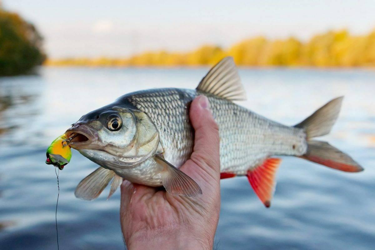Как ловить язя на рыбалке до- где и на что лучше ловить осенью, зимой, летом и весной?