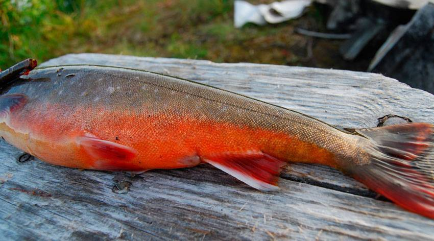 Голец — что за рыба и чем полезна?