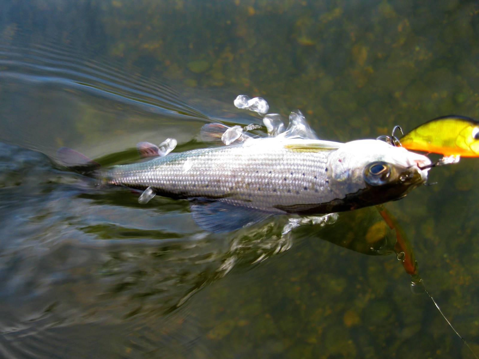Ловля хариуса весной на спиннинг – рыбалке.нет