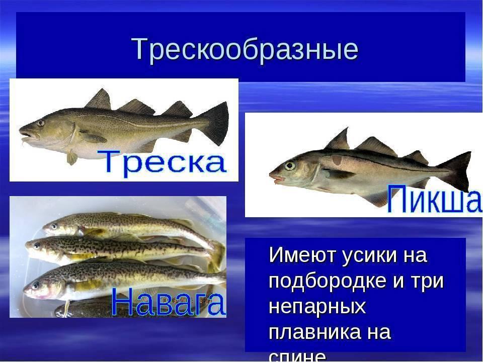 Виды и описание рыб семейства тресковых