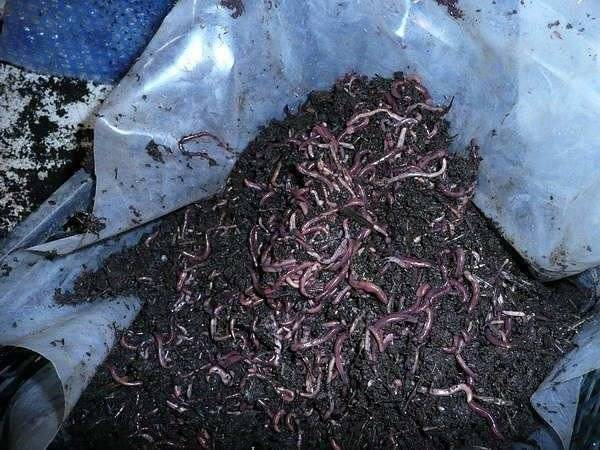Чем подкармливать червей в домашних условиях: советы