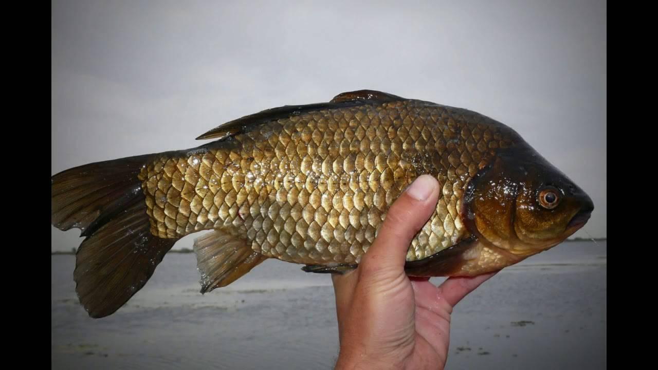 Ловля буффало - все о рыбалке