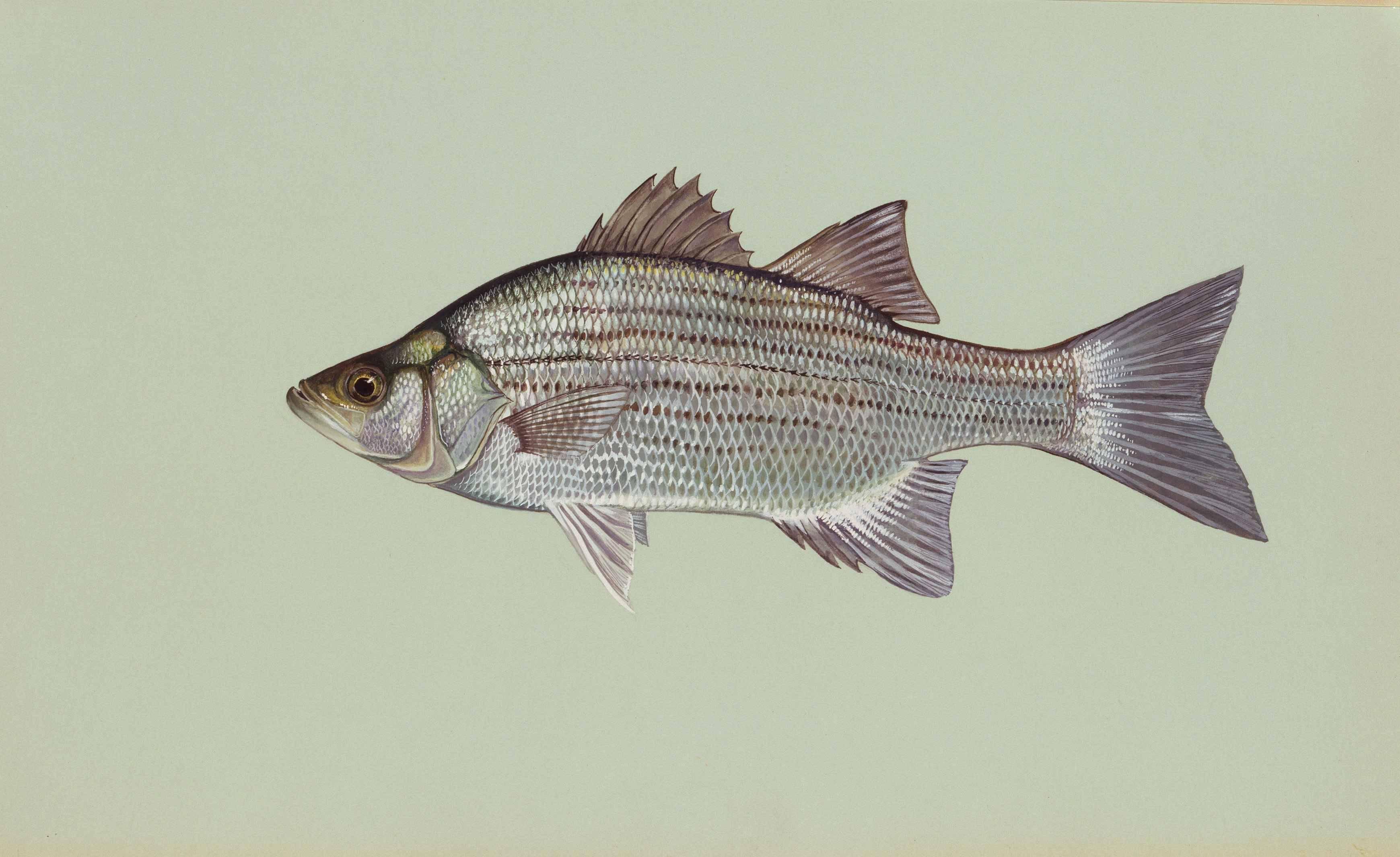 Сибас чилийский и морской волк: описание рыбы с фото, среда обитания, полезные свойства и способы ловли