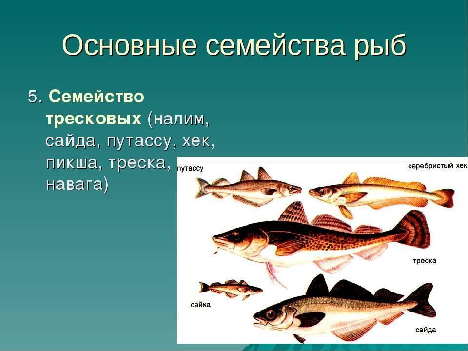 Рыба семейства тресковых: отличия и особенности, среда обитания, перечень видов