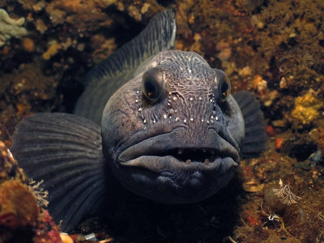 Зубатка рыба. образ жизни и среда обитания зубатки | животный мир