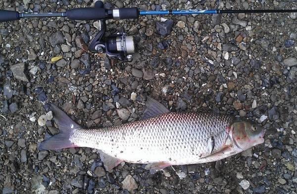 Где водится тилапия: это морской или речной вид, как правильно ловить рыбу