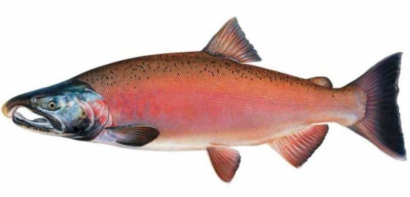 Рыба кижуч: где обитает и чем полезна, калорийность, применение и противопоказания