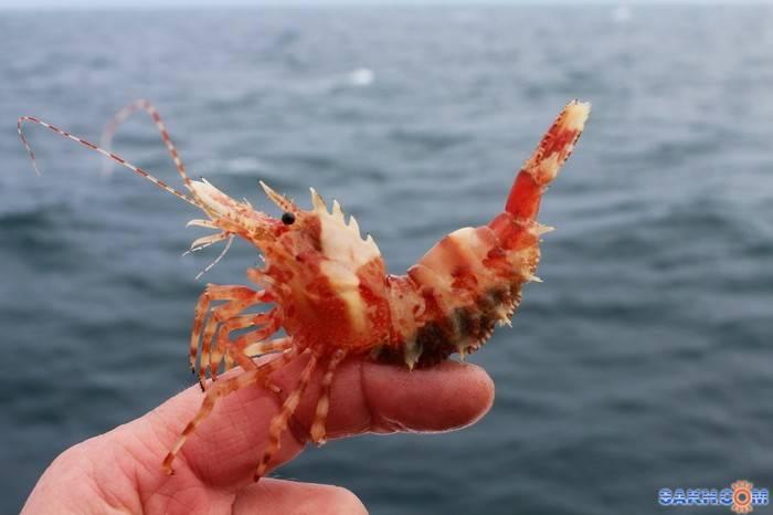 Образ жизни черноморской креветки, места обитания, способы ловли