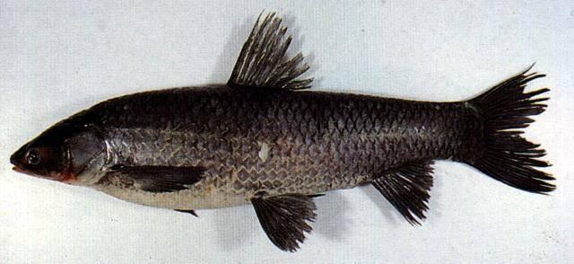 Рыба белый амур: где водится, на что ловить и как приготовить, фото