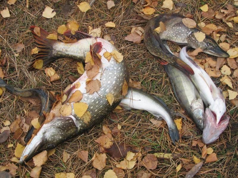 Ловля щуки в октябре: на спиннинг и не только!