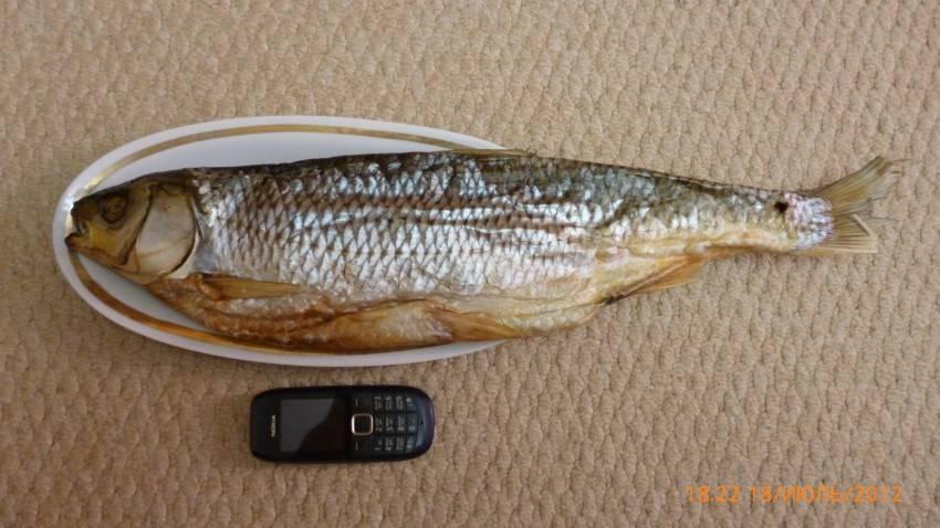 Рыба кутум — фото, где водится и чем питается, как правильно ловить