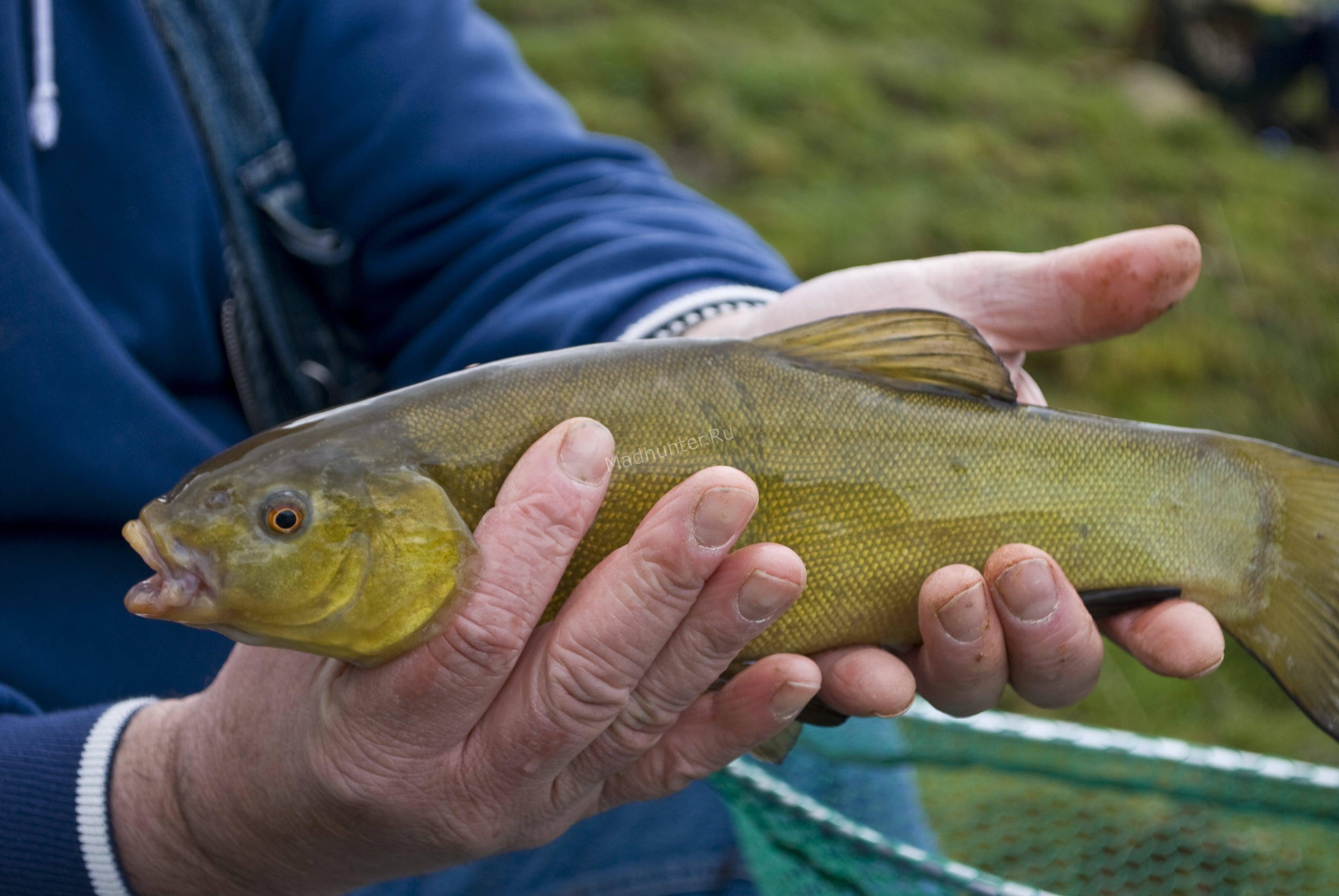Рыба линь: фото и описание, как выглядит, среда обитания