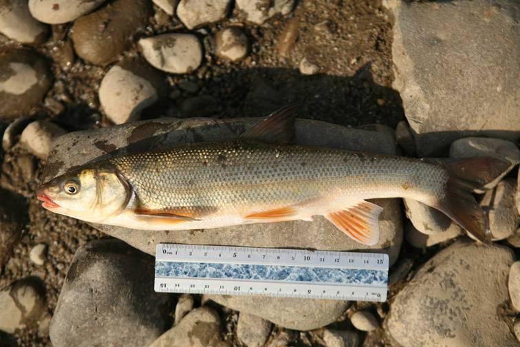 Ловля рыбы кижуч: описание, фото и способы ловли кижуча