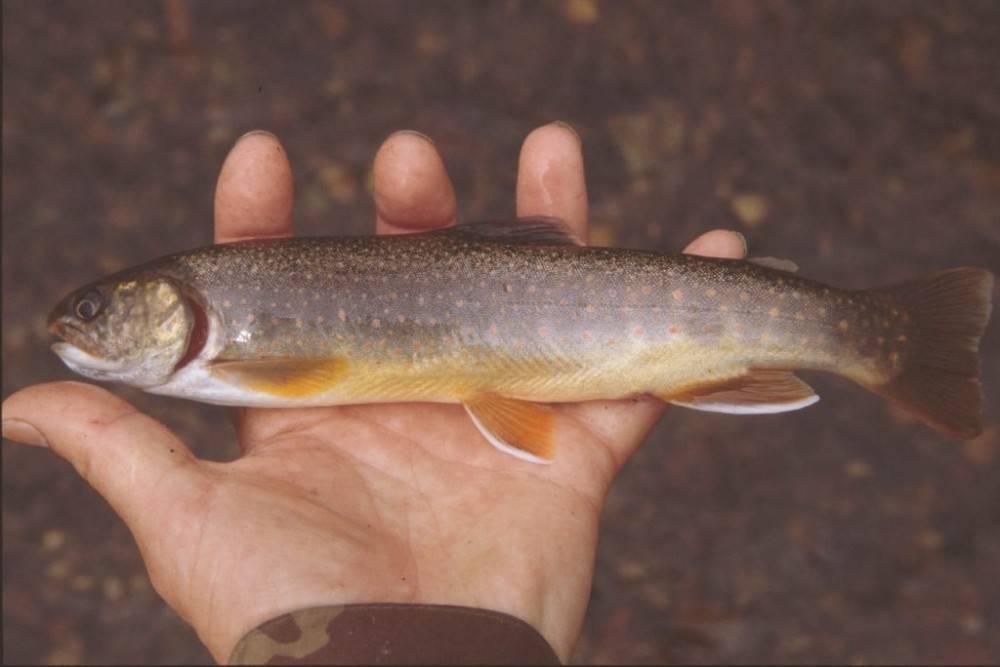Кунджа фото и описание – каталог рыб, смотреть онлайн