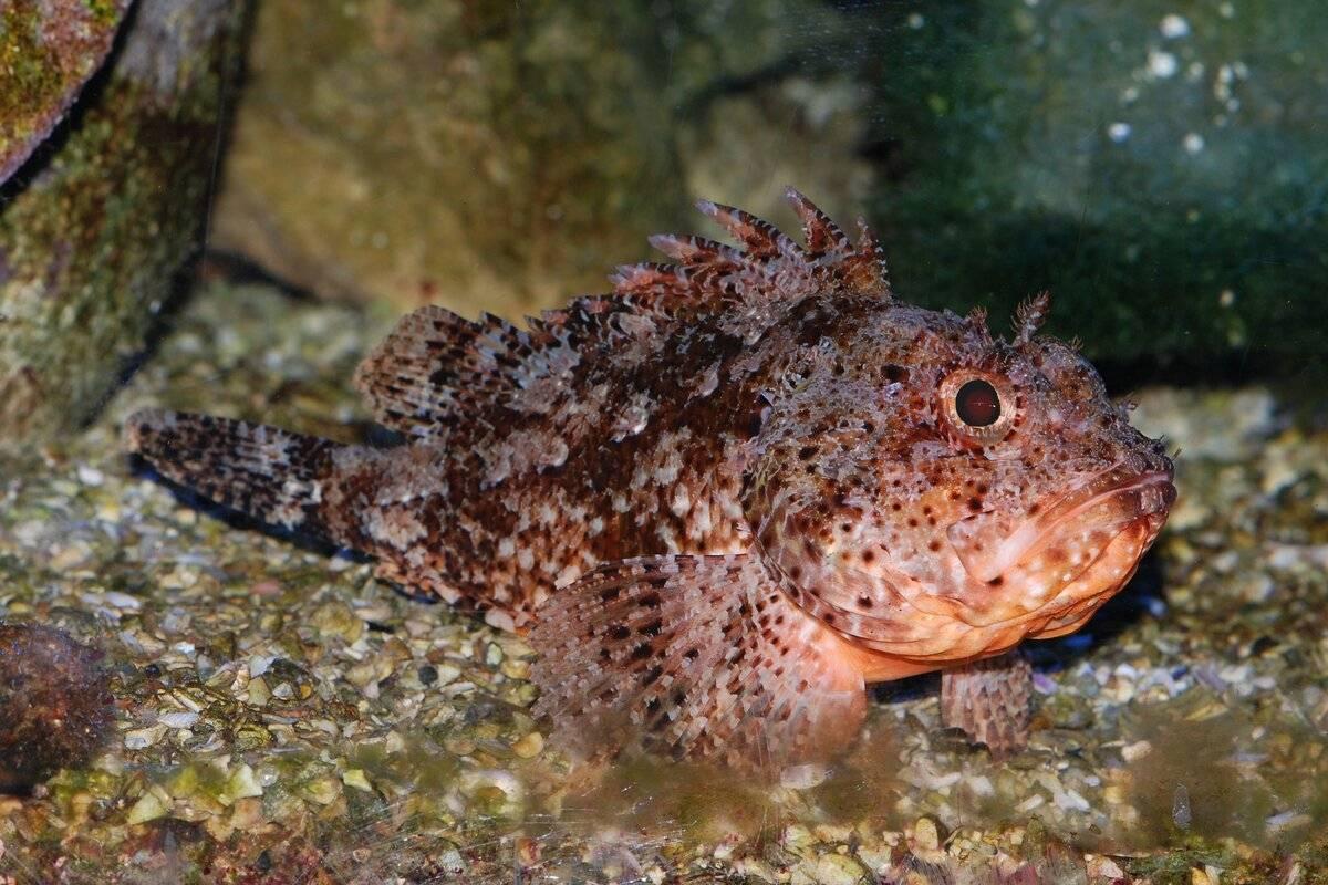 Какая рыба водится в черном море: виды, название и описание   вся планета