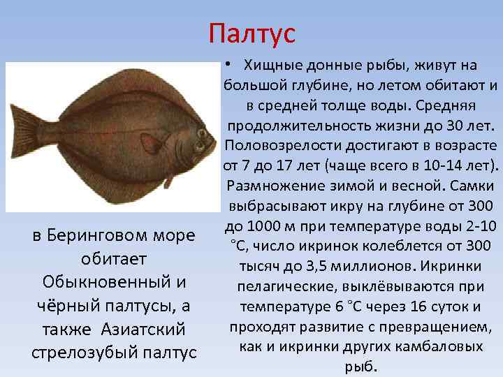 Палтус что за рыба, польза и вред для организма, свойства икры