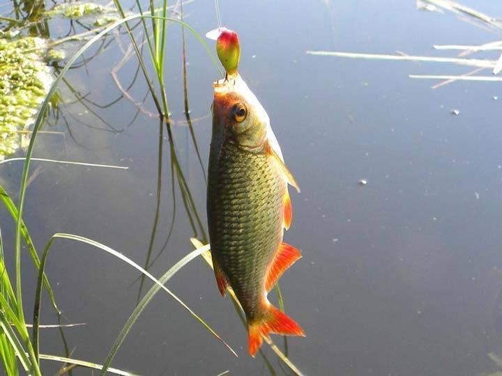 Красноперка (рыба): описание, фото. на что ловить красноперку, как ее приготовить? :: syl.ru