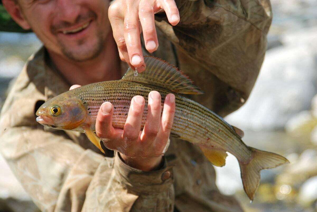 Рыба хариус – как и на что ловить, рецепты приготовления, полезные свойства