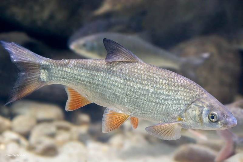 Рыба «Подуст» фото и описание